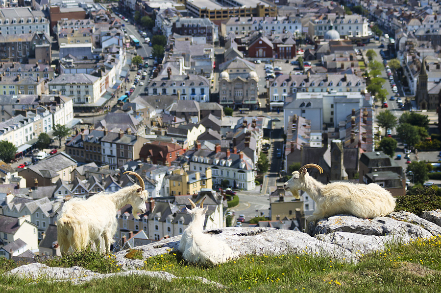 Llandudno's Wild Goats Going Global Again