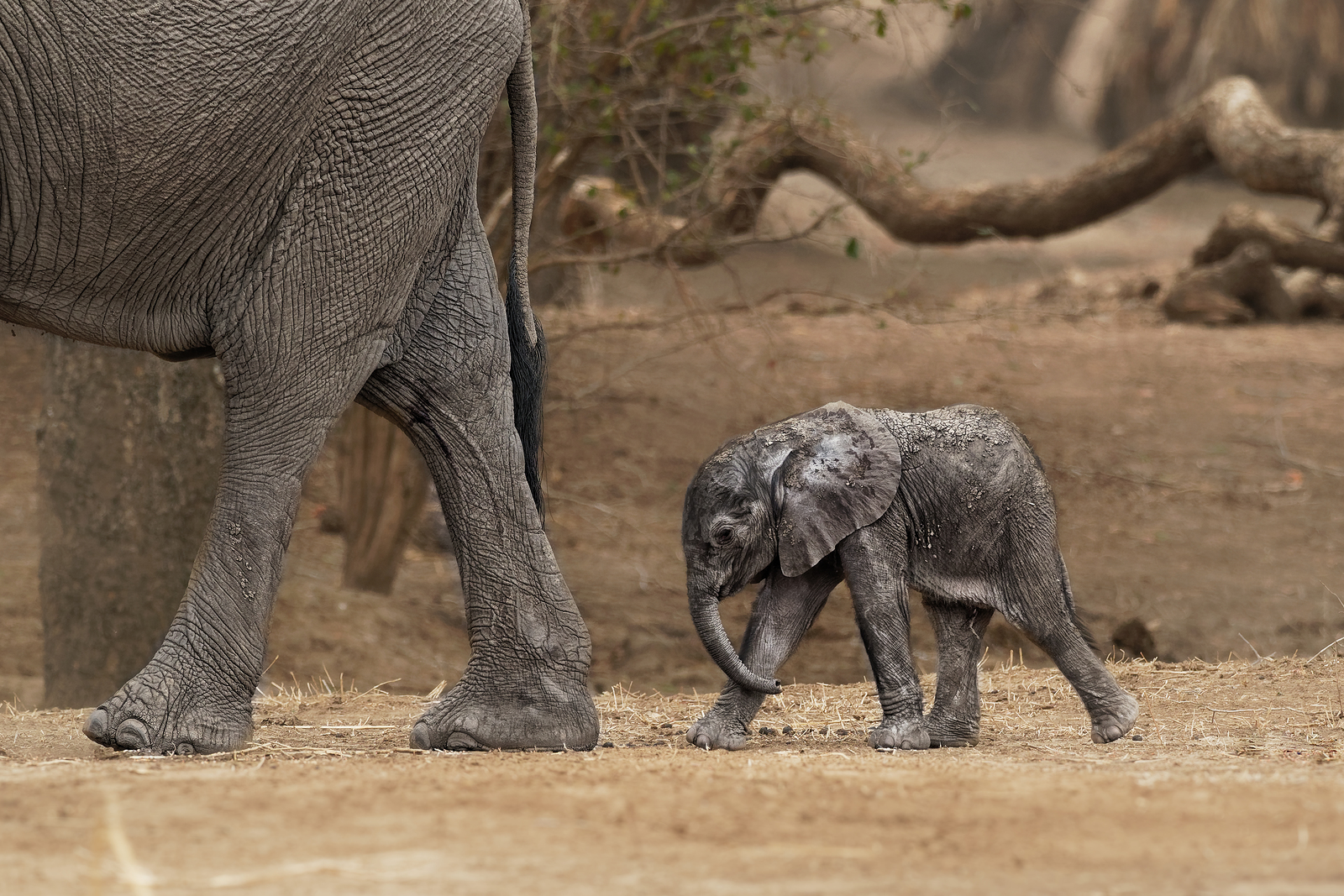 Rare Asian Elephant Born At Chester Zoo!