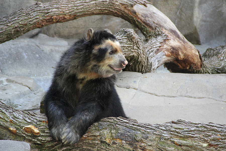 Chester Zoo Welcomes Arrival Of UK's First Andean Bear Twins!