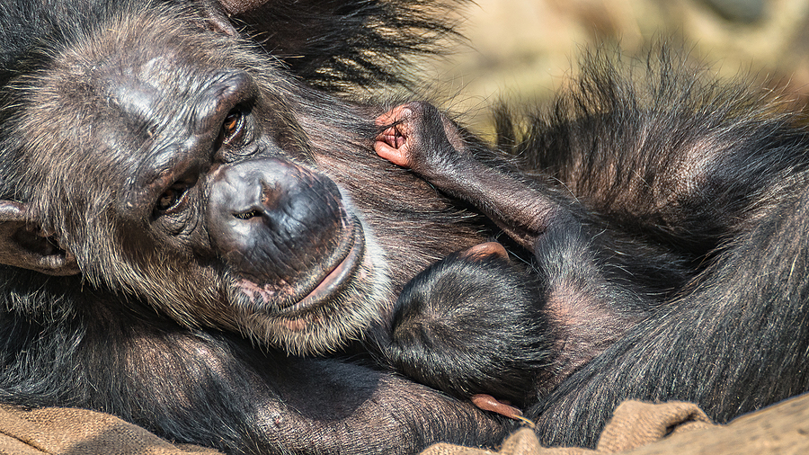 Chester Zoo Shows Off Endangered Baby Chimp